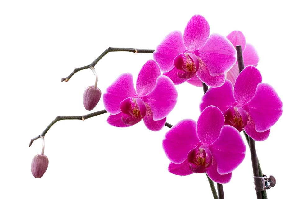 Pembe orkide resmi