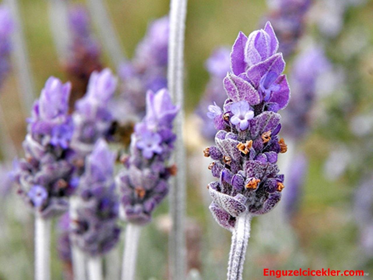 Lavanta Çiçeği özellikleri