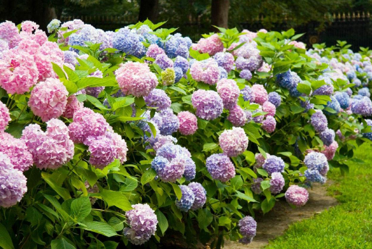 Ortanca çiçeği çeşitleri