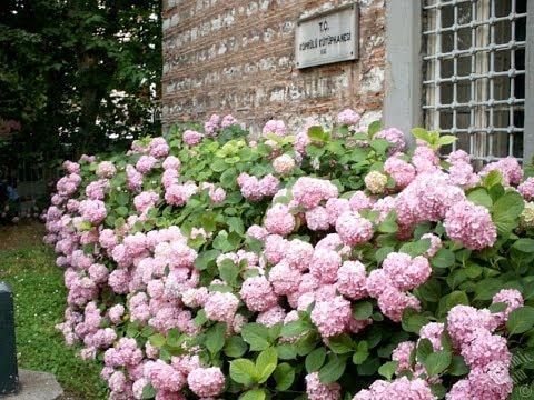 Ortanca çiçeği özellikleri