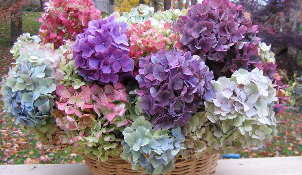 Ortanca çiçeği yetiştirilmesi