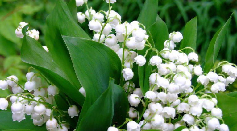 İnci müge çiçeği bakımı
