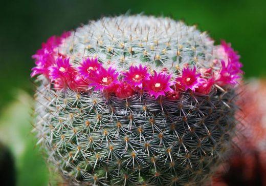 Kaktüs çiçeği anlamı