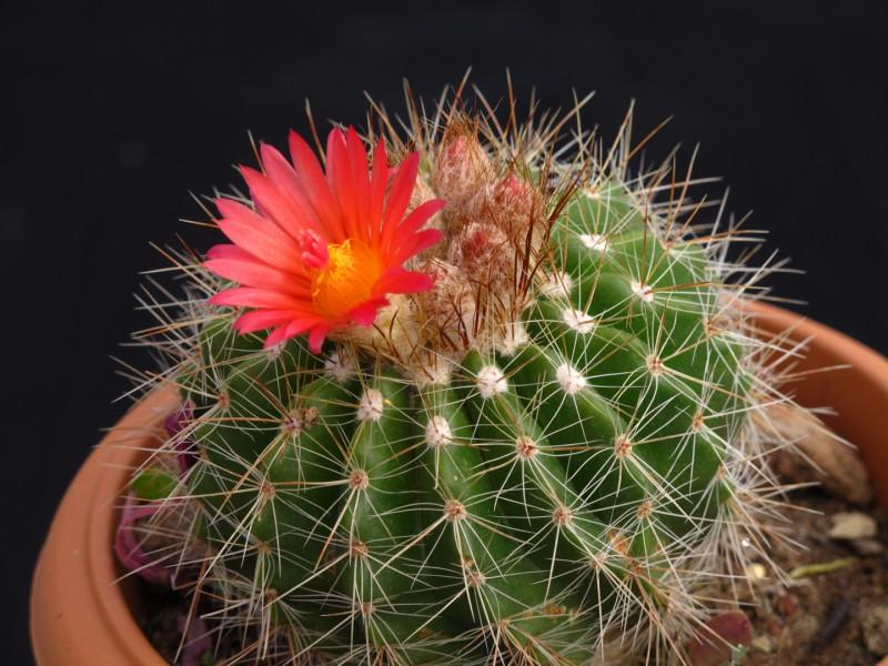 Kaktüs çiçeği özellikleri