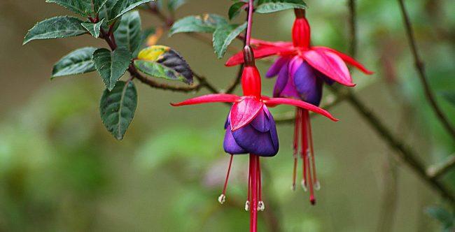 Küpe çiçeği özellikleri