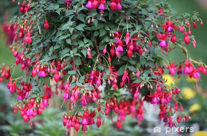 Küpe çiçeği renkleri