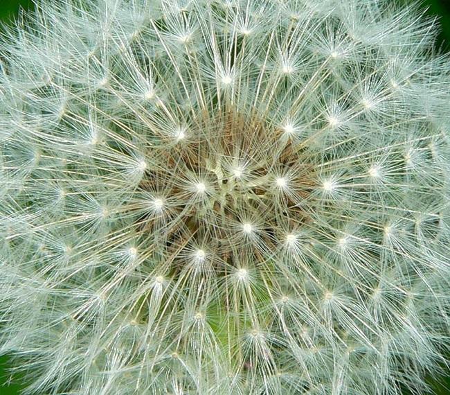 Karahindiba çiçeği hikâyesi