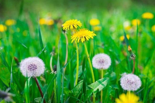 Karahindiba otu çiçeği