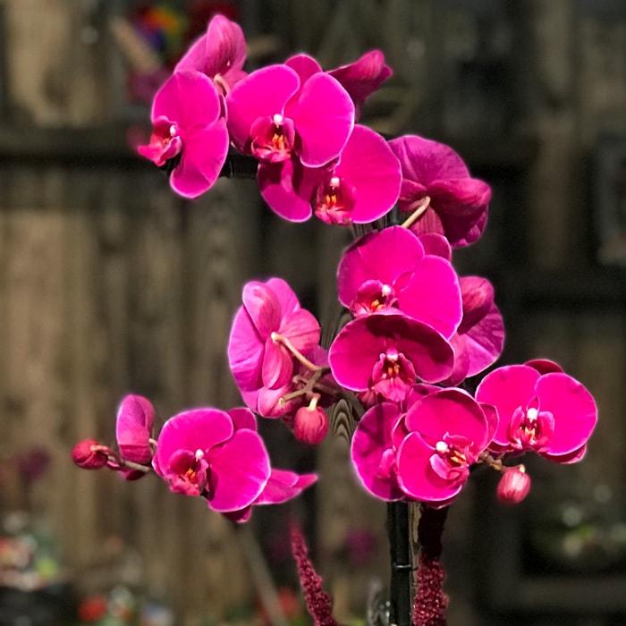 Fuşya Orkide Anlamı