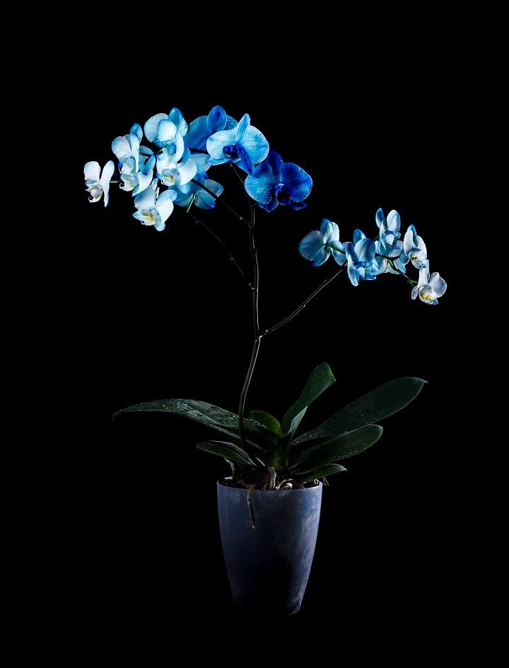 Mavi Orkide Anlamı