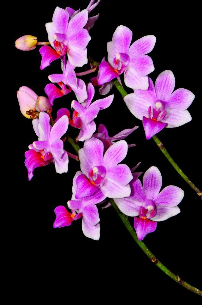 Mor Orkide Anlamı