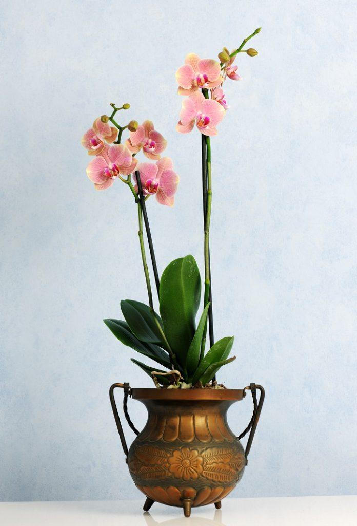 Pembe Orkide Anlamı