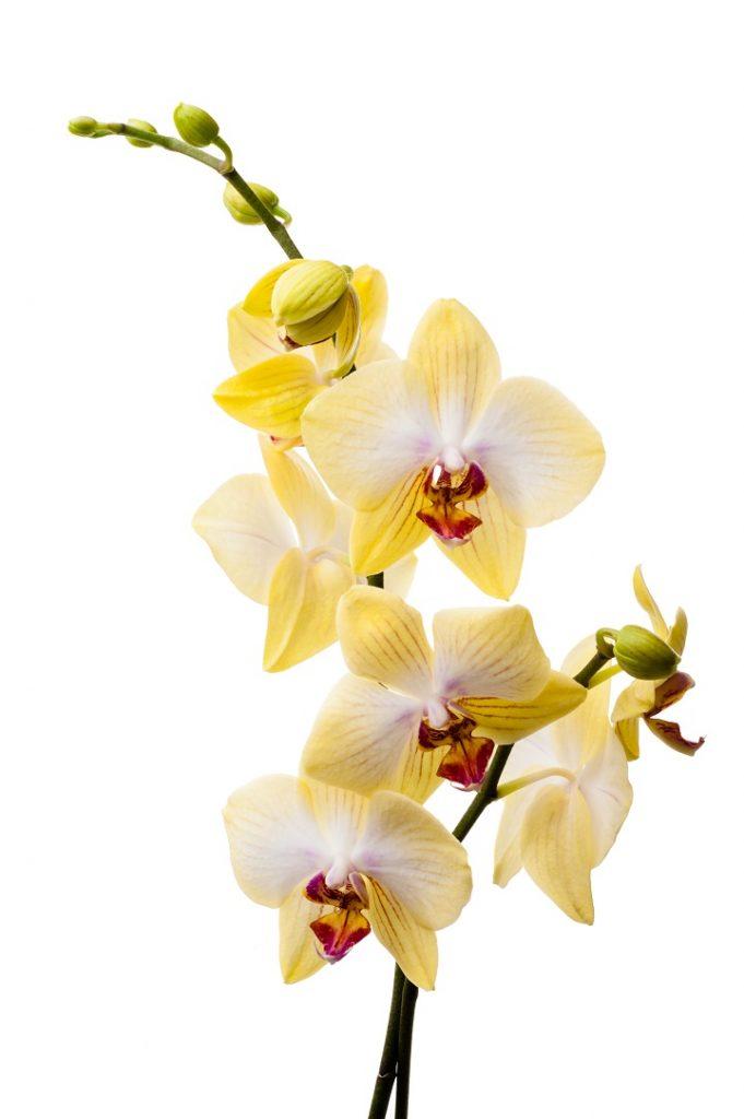 Sarı Orkide Anlamı
