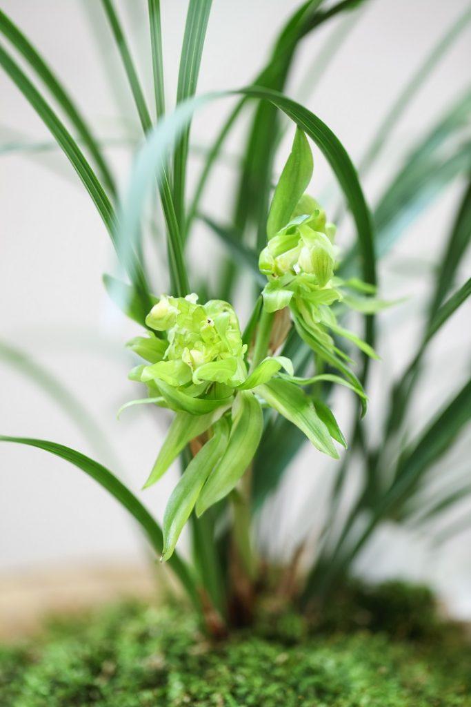 Yeşil Orkide Anlamı