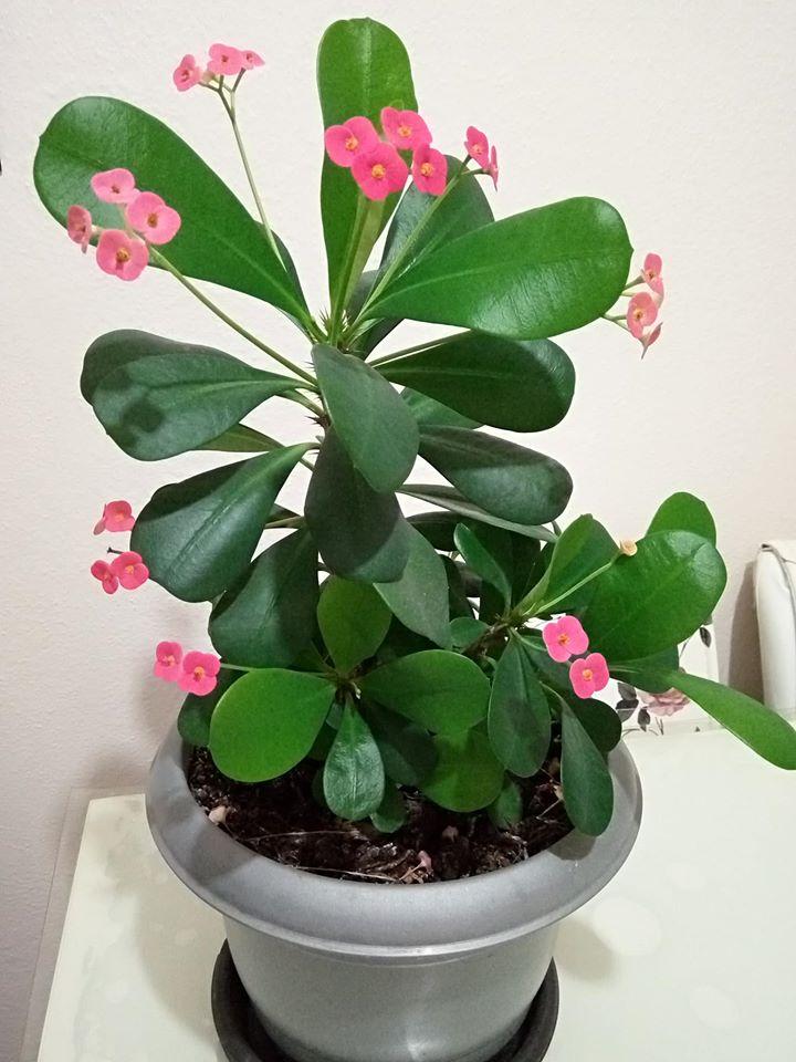 Dikenli Taç (Euphorbia milii)