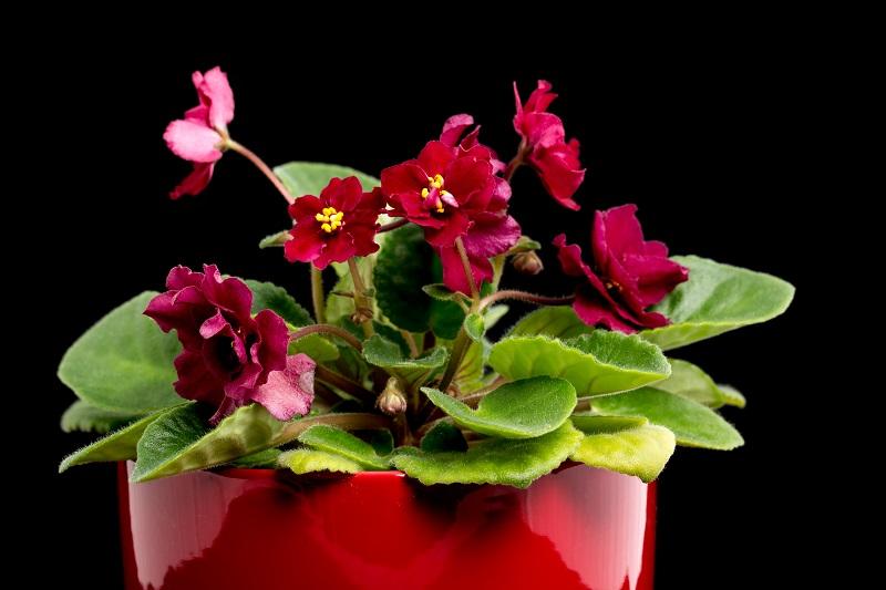 Salon çiçeği menekşe
