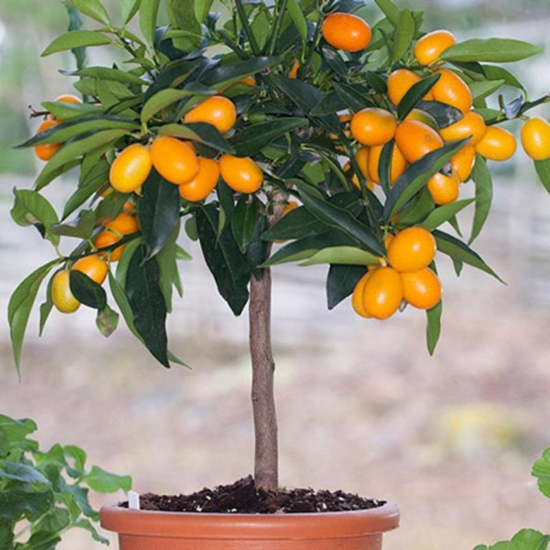 Salon Çiçekleri Kumquat