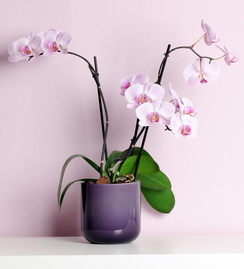 Salon çiçekleri orkide