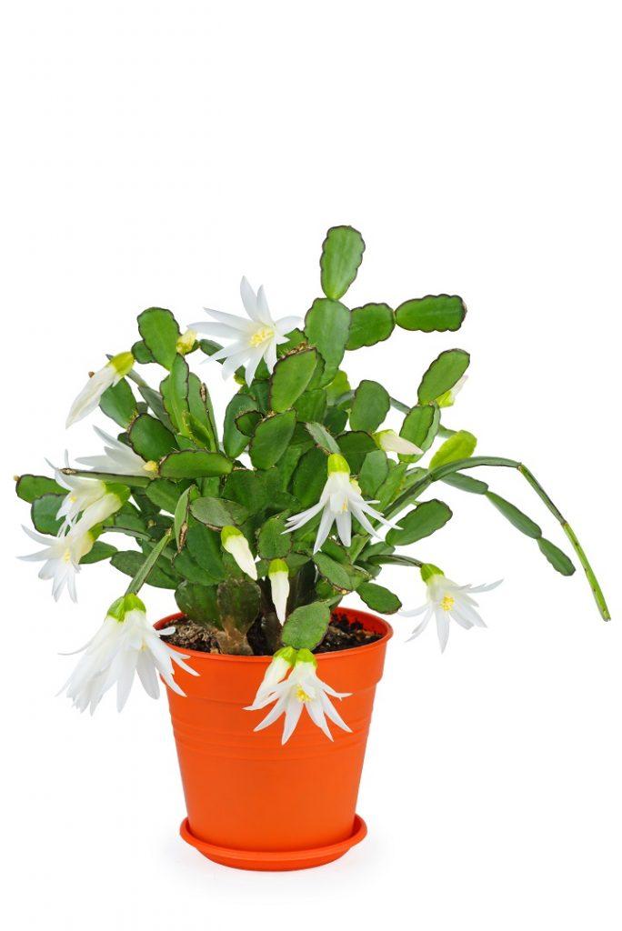 Yılbaşı Çiçeği (Schlumbergera truncata)