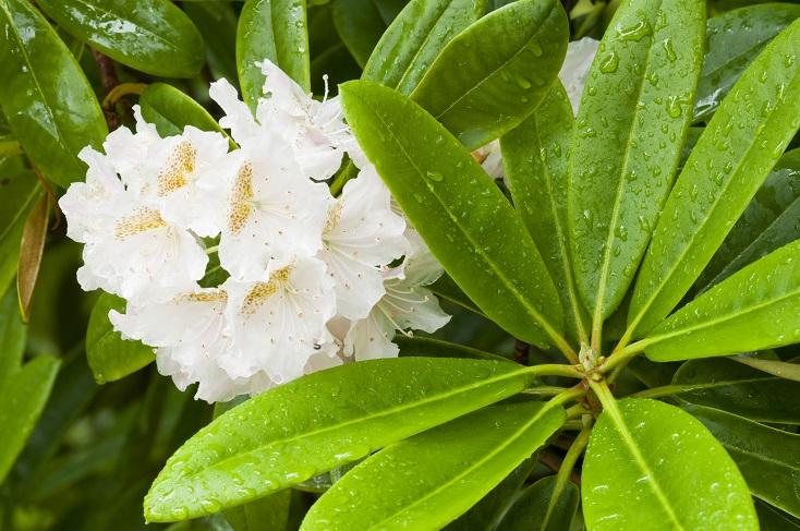 beyaz açelya çiçeği