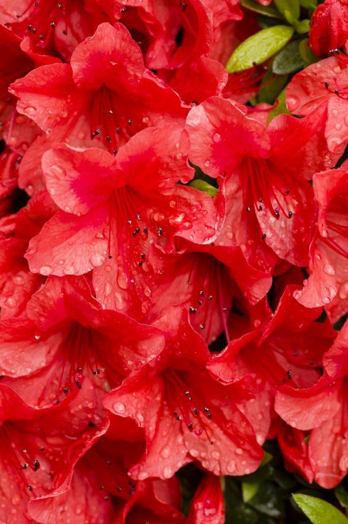 Kırmızı açelya çiçeği