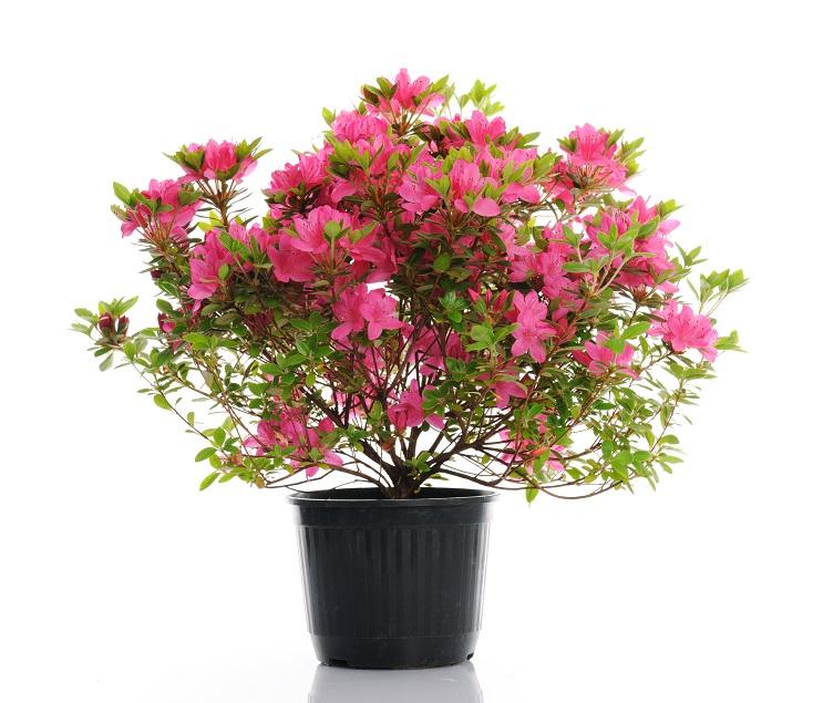 pembe açelya çiçeği