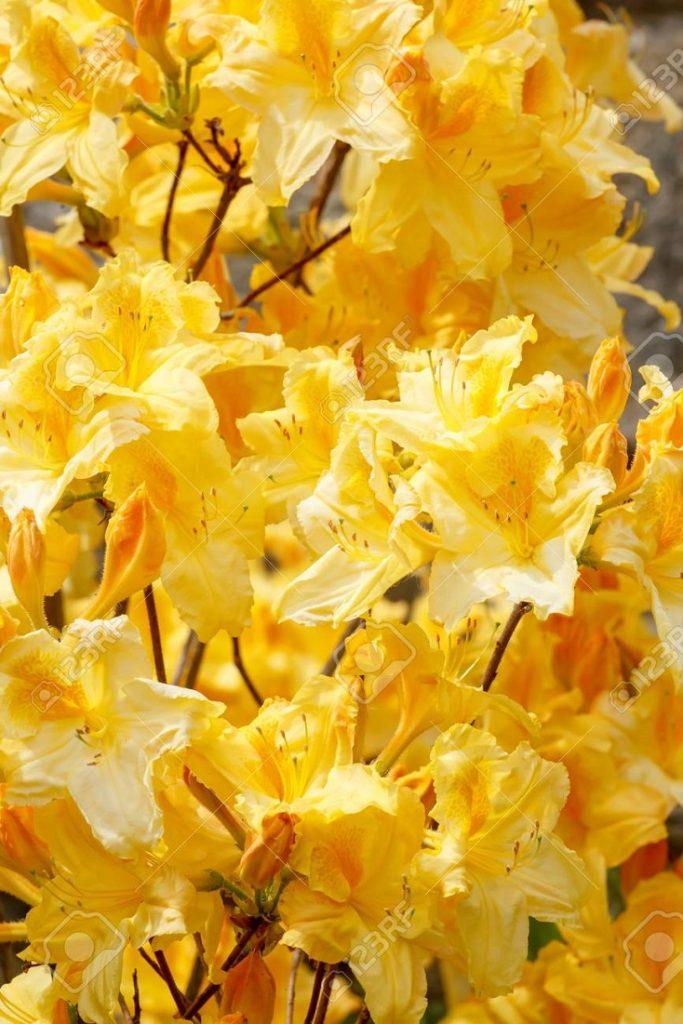 sarı açelya çiçeği