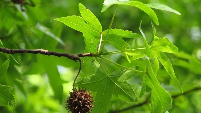 Sığla Ağacı