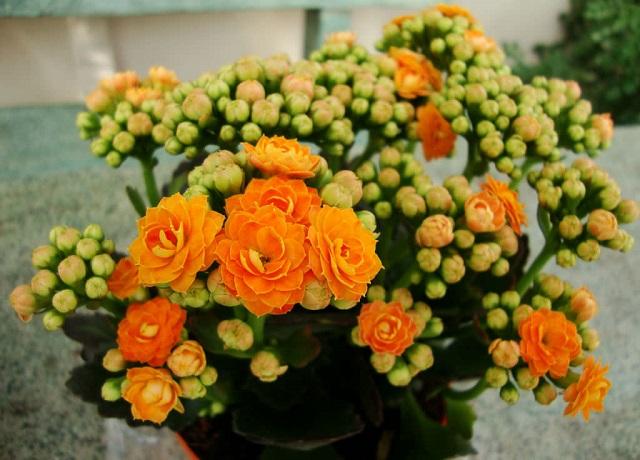 Kalanşo çiçeği bakımı, Kalanşo çiçek açtırma, çoğaltılması ve özellikleri