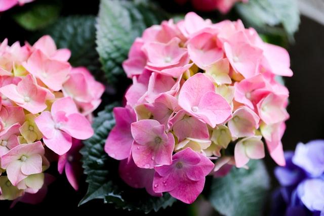Sardunya çiçeği çeşitleri ve özellikleri